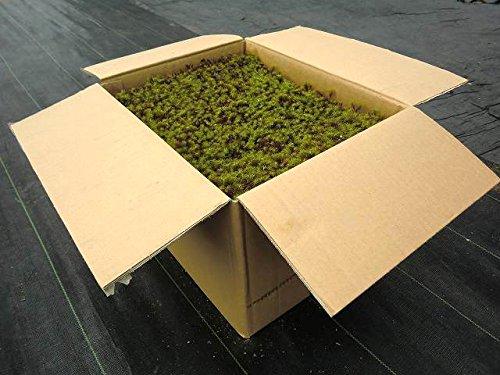苔 こけ コケ スギゴケ 杉苔【杉苔並品8枚入り(約0.8平米)】