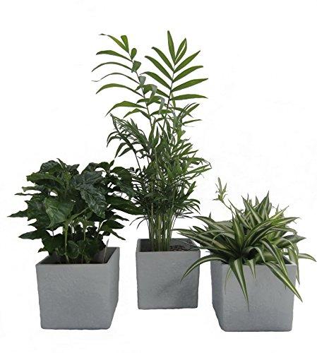 Dominik Blumen und Pflanzen, Zimmerpflanzen Luftrein Mix im Scheurich Würfelumtopf grau-stone, 14 x 14 cm, 3 Pflanzen und 3 Umtöpfe, grün