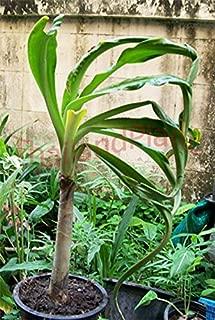 1 Bulb of Crinum ASIATICUM L. VAR. ANOMALUM Baker Plant