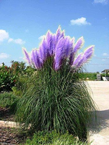200 Pcs Pampas Semences à gazon terrasse et jardin en pot Plantes ornementales Nouvelles Fleurs Grasses Cortaderia (Jaune Violet Blanc rose) *