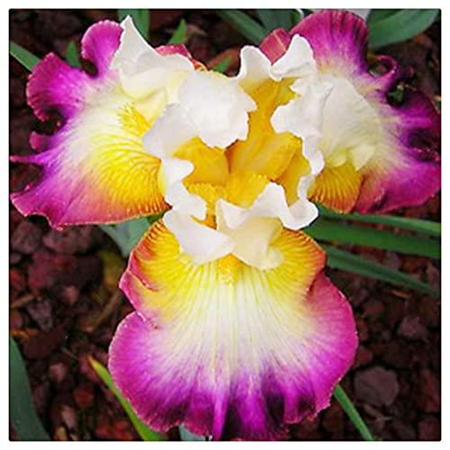 Einfach in vier Jahreszeiten zu kultivieren,Die Blumen sind kostbar und wunderschön, Kälte- und trockenheitsresistent, Irisknolle, Balkon eingetopft, Iris Rhizom-3 Knolle,3