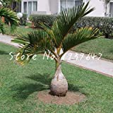 honic 50 pezzi sago palm tree bonsai cycas revoluta tropical fossil facile da coltivare cycad bonsai per indoor pianta in vaso di trasporto: 22