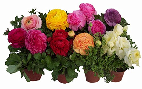 9 couleurs Fleur graines bonsaï balcon quatre saisons de semis seed20seeds mix couleur Ranunculus asiaticus de / lot
