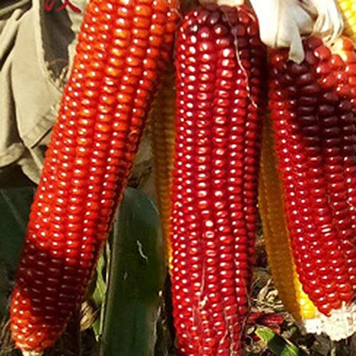 80PCS Red Yingrun Pretty Corn Seeds Beautiful Decoration Embellishment Well Received Variety Without Too Much Care Natural Grow
