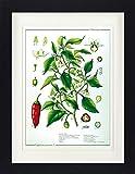 1art1 Kochkunst - Die Chili Pflanze Gerahmtes Poster Für
