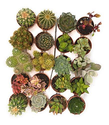 Italy Green Life 20 Piante Grasse Mix Succulenti e Cactacee Vaso Diametro 5.5cm Piante Grasse Vere Set di Produzione  Piantine Da Interno, Ufficio, Bomboniere, Scrivania 20 Piante Vere da Interni
