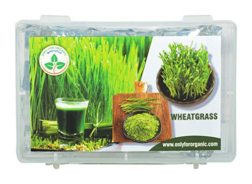 ONLY FOR ORGANIC hybrid wheat grass seeds : 1000 seeds.