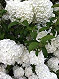 (1加仑)中国雪球Viburnum,美丽垒球大小的绣球花般的花朵开始…