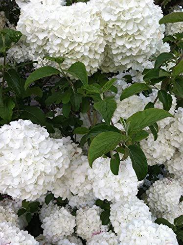 Pixies Gardens (1 Gallon Chinese Snowball Viburnum Beautiful Softball Size Hydrangea-Like...