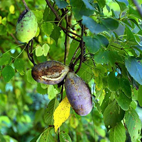 Semillas de flores semillas planta 50pcs/bolsa Akebia Trifoliata semillas ecológicas ornamental marrón rojo flores exóticas vides de chocolate semilleros para balcón - semilla