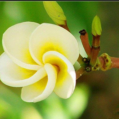 50pcs/sac graines de fleurs d'oeuf jaune plante arbre extérieur bonsaï Euphorbia Calliopsis Plumeria rubra L. cv. graines Acutifolia maison 10