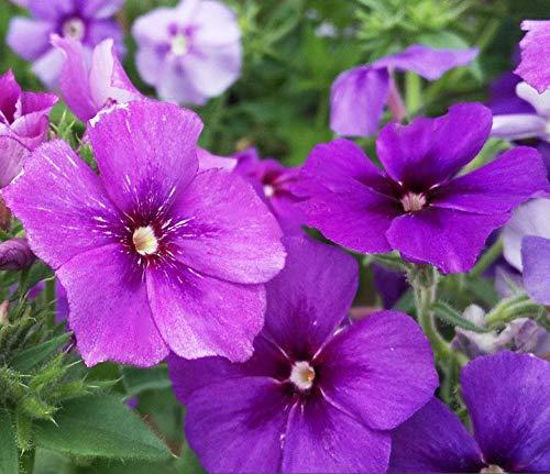 Semillas para Germinar Brotes,Planta fácil de Vivir-0.25kg_Purple,Perennes Semillas De Flores