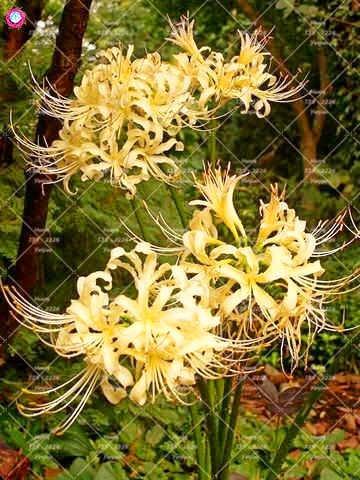 2PCS vrai Lycoris Radiata Ampoules Bana Ampoules (pas de graines) Fleurs en pot Ampoule d'intérieur Bonsai usine pour la maison Jardin 3