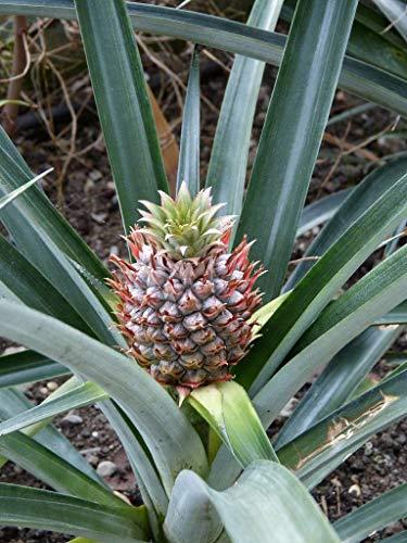 Ananas comosus Pflanze 15-20cm echte Ananaspflanze Fruchtananas Rarität