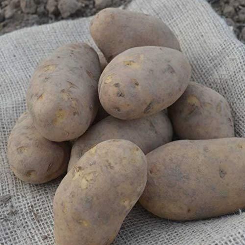 Neue Ernte Nicola Kartoffeln NORMAL, Festkochende Speisekartoffel aus holländischem Anbau (5 KG)