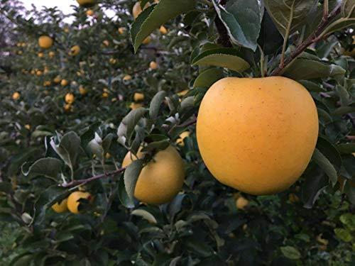 シナノゴールド 贈答用 5kg(12-18玉)糖度 酸度ともに高く 濃厚な味 黄色い 信州りんご