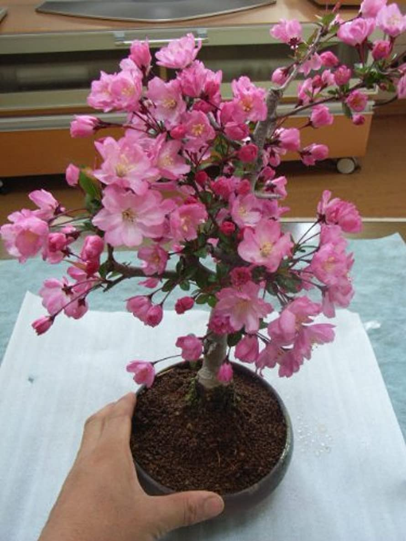 在庫より多い詩桜盆栽 ハナカイドウ桜 花が 少し 下向きに 咲くのが 特長です
