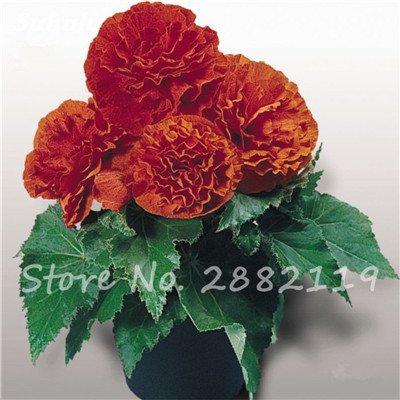 New Balcon usine 20 pièces colorées Begonia Graines de fleurs Rare Rose Rieger Begonia fleurs Begonia Plantes d'intérieur Bonsai Garden 15