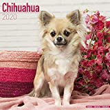 Avonside Publishing Ltd: Chihuahua Calendar 2020