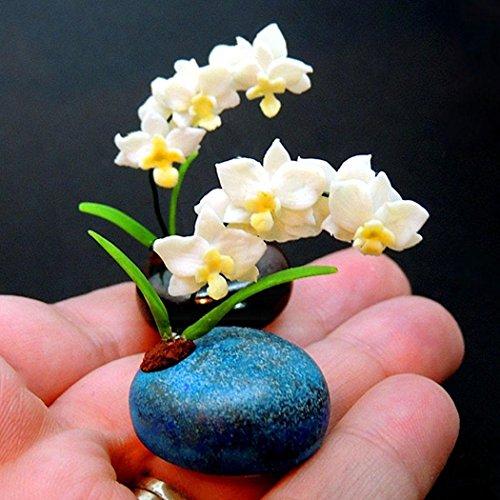 Tomasa Samenhaus- 20 Stücke ini Orchidee Samen Phalaenopsis Orchidee Blumensamen winterhart mehrjährig Orchidee Saatgut für Terrasse/Balkon/Garten