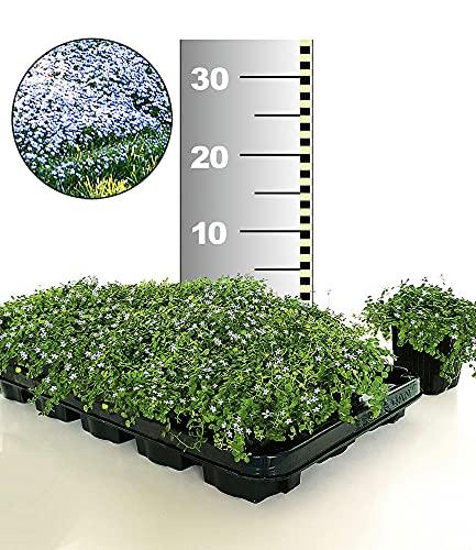 BALDUR-Garten Winterharter Bodendecker Isotoma \'Blue Foot®\', 50 Pflanzen Isotoma fluviatilis trittfest, Blauer Bubikopf Gaudich Rasen-Ersatz