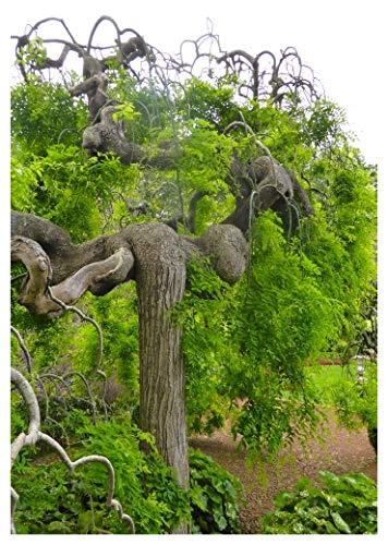 TROPICA - Japanischer Schnurrbaum (Sophora japonica) - 20 Samen