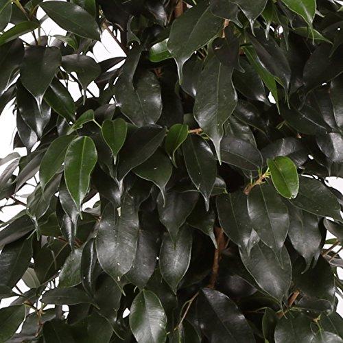 Ficus Danielle - Maceta 17cm. - Altura total aprox. 90cm. - Planta viva - (Envíos sólo a Península)