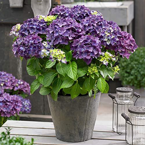 "Hydrangea macrophylla ""Forever & Ever"" | Lila Hortensie | Winterfest | Höhe 25-35cm | Topf-Ø 23cm"