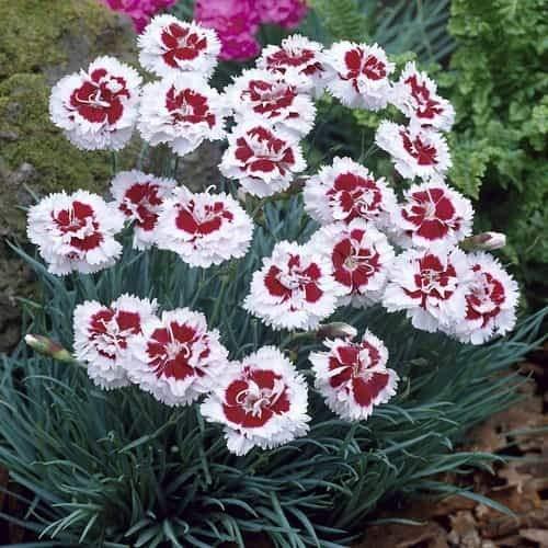 Tomasa Samenhaus- Nelke Dianthus Blumen Duft-Gartennelke Blumensamen Saatgut winterhart mehrjährig Bodendecker Blumen bienenfreundliche für Balkon/Garten/Steingärten