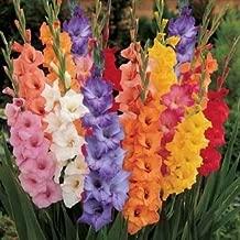 (50) Fresh, New 2018, Giant Flowering Mixed Colors Gladiolus Bulbs, Plants, Flowers, Flowering Perennials,Sword Lily, Gladioli-SeedsBulbsPlants&More