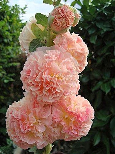 Alcea 'Creme de Cassis' Red Malvarosa Bonsai Sementes de flores anuais embalagem originali 20 Semi / pack