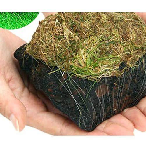 (水草)巻きたて ロックウール付 ヘアーグラスショート 溶岩石 Mサイズ(12〜15cm)(無農薬)(1個) 北海道航空便要保温