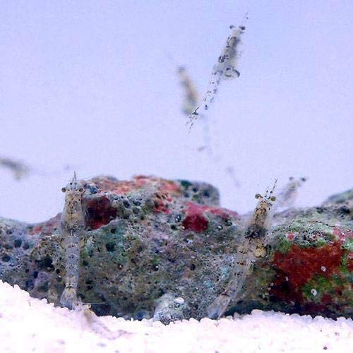 (海水魚)生餌 海洋性イサザアミ(0.5g)