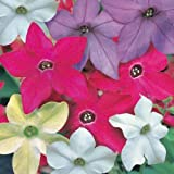 NICOTIANA Alata - 500 Seeds -MIXED COLORS ,Ornamental Flowering Tobacco,
