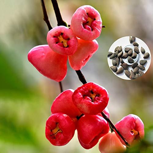 Catkoo 50Pcs Delicious Rose Apples Seeds Bonsai Fruit Home DIY Garden Yard Plant Decor, No GMO, Rico En Vitamina C, Semillas De Producción Original EE. UU. Semillas de Manzana Rosa