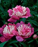 Aimado Seeds Garden-10 Pivoine 'Fantastique' graines,Un coloris superbe,Rose Fleur Plante Vivace robustes et rustiques idéales pour Jardin
