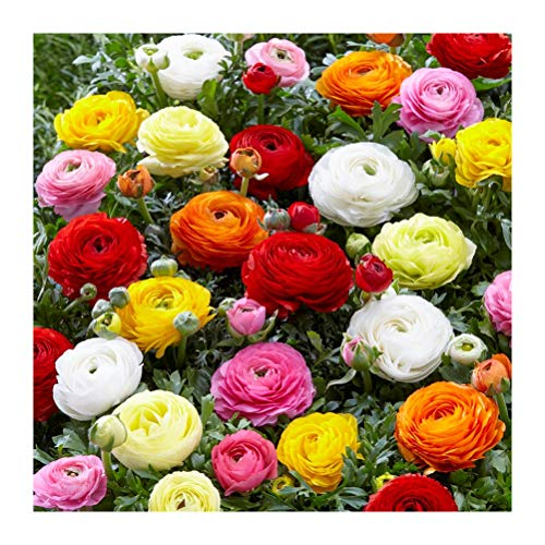 10 x Ranunculus Peony Blend- Show-Stopping Flowers- Great for Cutting- for a Beautiful Garden