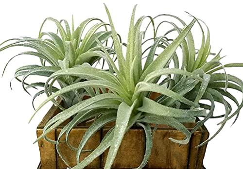 Künstliche Luftpflanzen, künstliche Beflockung, Tillandsien, Sukkulenten, künstliche Bromelien, sehen echt aus für Heimdekoration im Innenbereich, 3 Stück