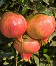 9EzTropical - Ambrosia Pomegranate Fruit Tree Live Plant - 2 to 3 Feet Tall - Ship in 1 Gal Pot