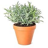 Lavanda Flor Natural con Maceta de Cerámica Planta Aromática de Interior y Exterior Ideal para Regalar