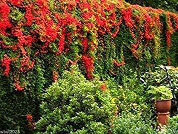 Scottish Flame Flowers (5 Seed) Tropaeolum speciosum -Flame Kapuzinerkresse, seltene Rebe!