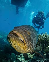 Posterazzi Poster Print Collection Diver Swimming with a Goliath Grouper in Key Largo Florida Brent Barnes/Stocktrek Images, (11 x 17), Multicolored