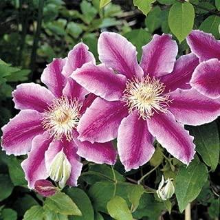 25 Purple White Clematis Seeds Large Bloom Climbing Perennial Flower Garden
