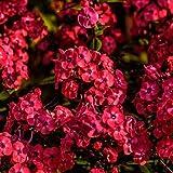 David's Garden Seeds Flower Phlox Red SAL8723...