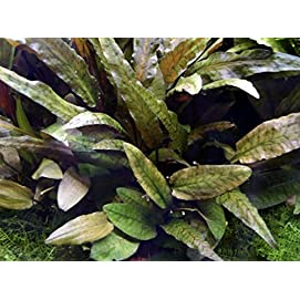 WFW wasserflora MUTTERPFLANZE Cryptocoryne wendtii Tropica
