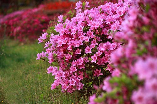 Japanische Azalee Rhododendron obtusum 6 Stück Brillant Rosa T11 Pflanzware Hecke jap. Gärten