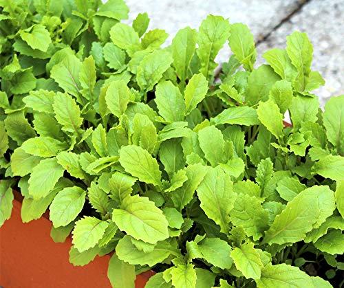 Bobby-Seeds Salatsamen Wasabi Wildrauke Portion