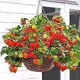 Semillas de flores de linterna 50pcs, hermosas plantas de flores para semillas de bonsai de jardín de bricolaje