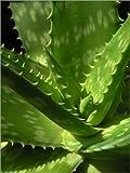 Posterlounge Cuadro de Aluminio 100 x 130 cm: An Aloe up Close de Editors Choice