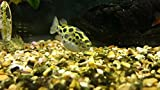 Puffer Green Spotted (Medium) Live Fish Aquatic Pets